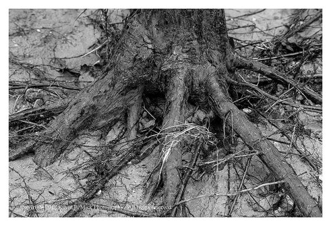 BW photograph of a pine tree's roots exposed by flooding at Morgan Run.
