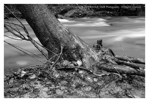 BW photograph of a leaning Sycamore tree's roots that have been exposed due to flooding.