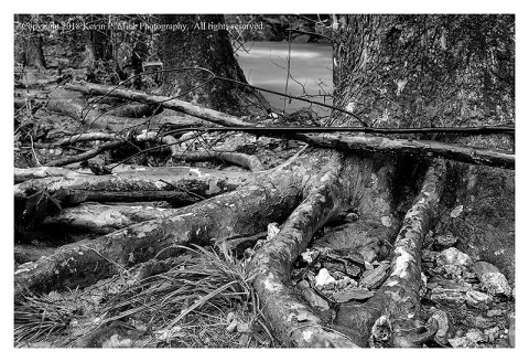 BW photograph of a row of Sycamore roots exposed by flood waters.