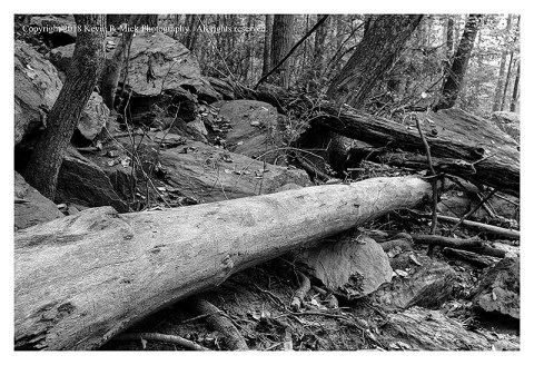 BW photograph of a down tree, stripped of bark, after flooding at MR.
