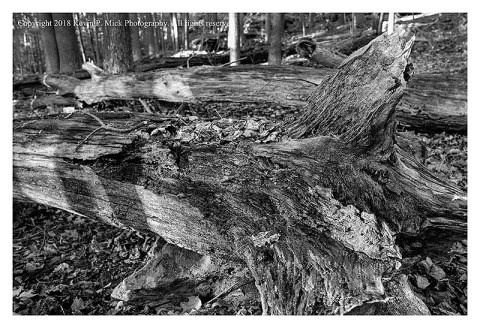 BW photograph of downed trees decaying in the woods.