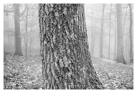 BW photograph of a pine tree trunk against a foggy background.