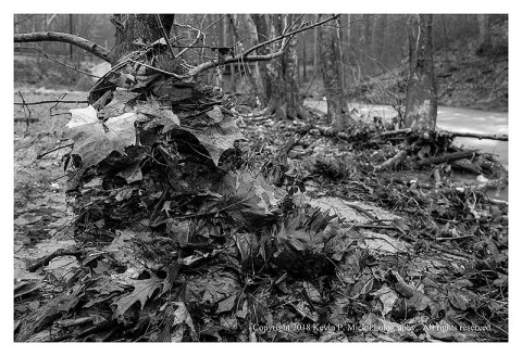 BW photograph of leaves plasterd against a tree trunk after a flood.