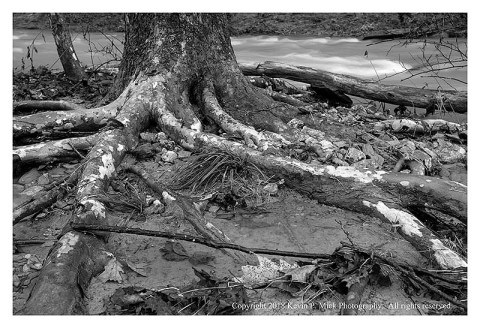 BW photograph of a sycamore tree's roots exposed due to flooding.
