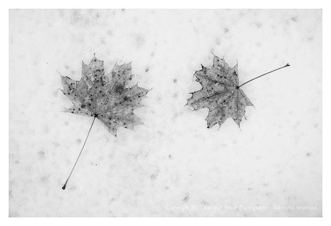 BW photograph of two maple leaves laying atop snow.
