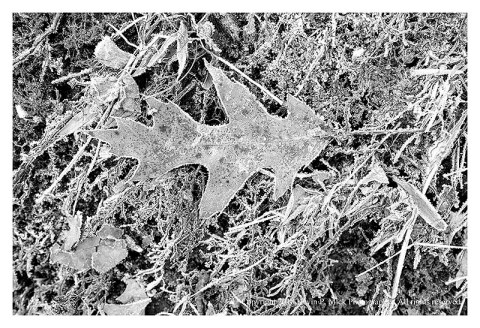 BW photograph of a fallen oak leaf covered with frost.