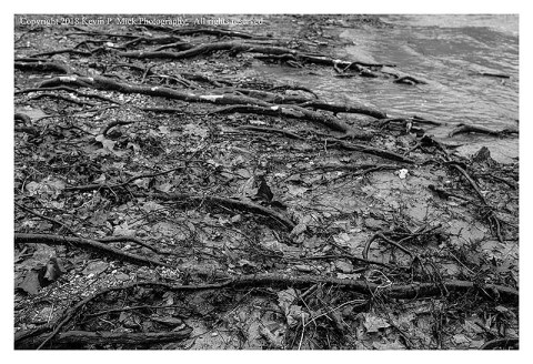 BW photograph of exposed roots from the recent flooding of Morgan Run.
