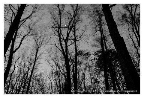 BW photograph of the moon through a stand of wind-blown trees.