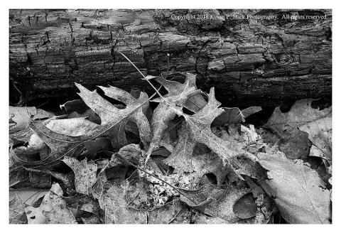 BW photograph of some dried oak and other leaves against a downed burned log.