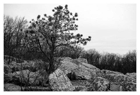 BW photograph of a pine tree atop a rock outcropping.