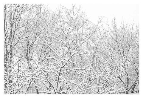 BW photograph of wet snow clinging to trees while it is still snowing.