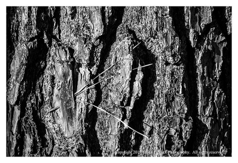 BW photograph of a 3-pronged pine needle caught in the bark of a pine tree.