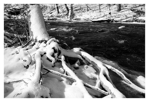 BW photograph of a sycamore tree's roots covered in snow.