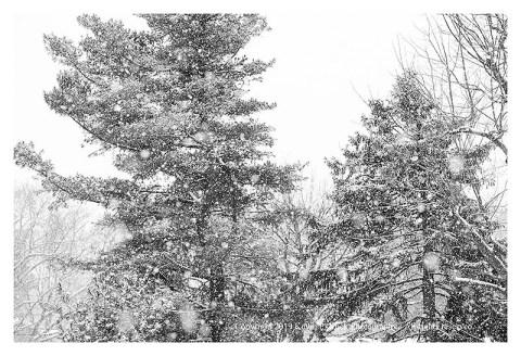 BW photograph of trees as seen through an active snowfall.