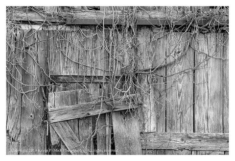 BW photograph of a section of an old barn wall with withered vines.