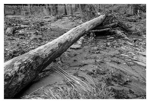 BW photograph of a fallen tree after a flood.