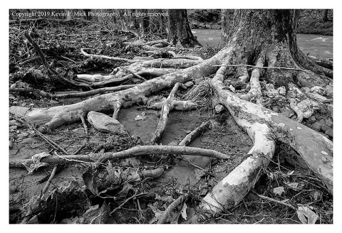 BW photograph of tree roots exposed after more flooding.