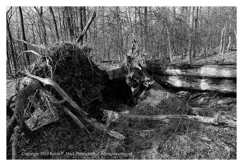 BW photograph of several downed trees with their roots exposed.