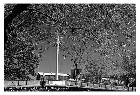BW photograph of a flowering tree with a pedestrian bridge in the background.