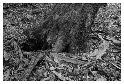 BW photograph of a leaning tree becoming uprooted.
