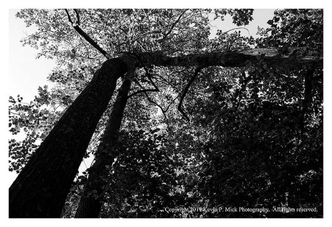 BW photograph looking up at a falling tree being supported by another.