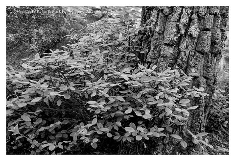 BW photograph of a bush, a pine tree trunk, and rocks.
