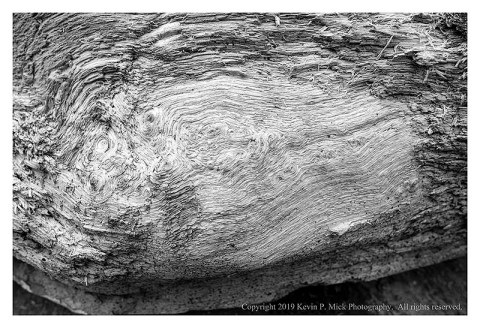 BW photograph of tree whorls on a decarying log.