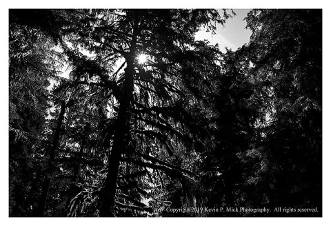 BW photograph of backlit old growth forest in Rainier National Park.