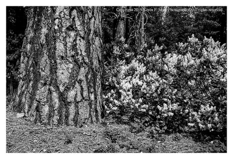 BW photograph of a pine and flowering bush in Wenatchee State Park.