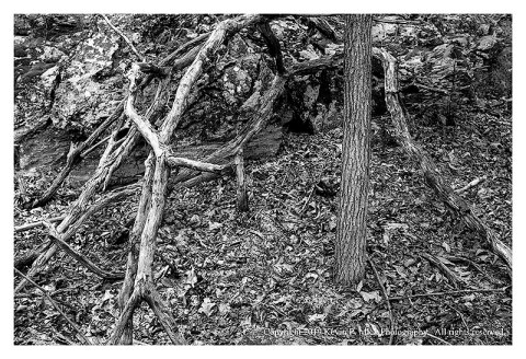 Bw photograph of several broken branches around a living pine tree.