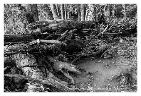 BW photograph of debris caught by the trees after the recent flooding at Morgan Run.