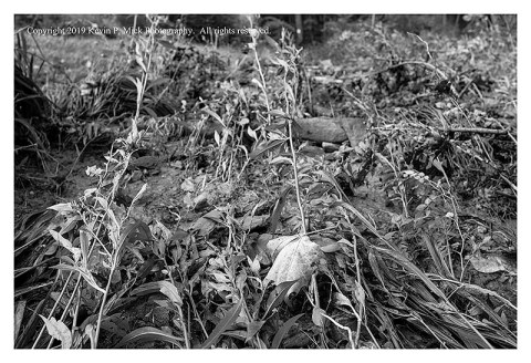 BW photograph of the depressed plant stalks from the floodwaters.