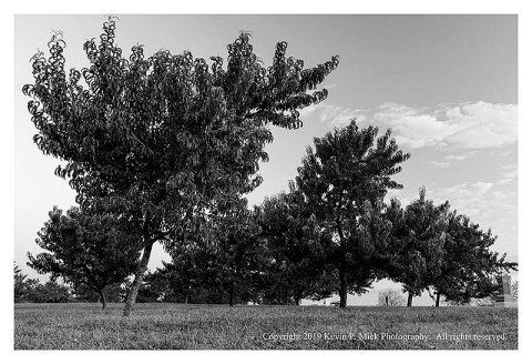 BW photograph of the Peach Orchard at Gettysburg.