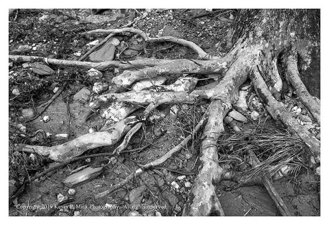 BW photograph of the roots of one of the sycamore trees that line the banks at Morgan Run.