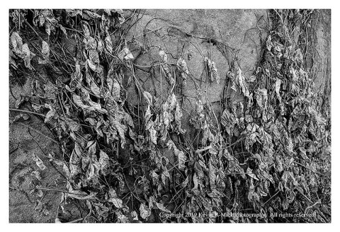 BW photograph of a withered vine on Devil's Den.
