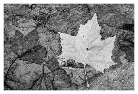 BW photograph of a fallen autumn maple leaf laying atop a rock.