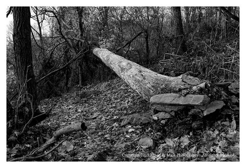 BW photograph of a downed tree leading into some brush.