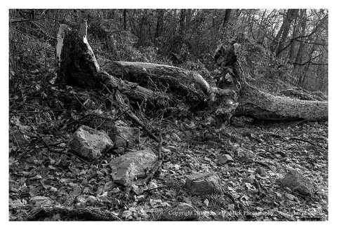 BW photograph of a downed tree with rocks and leaves in the foreground.