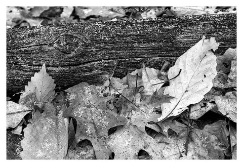 BW photograph of some downed leaves against a log with a light dusting of the first snow of the season.