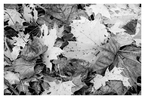 BW photograph of a variety of leaves blown to the ground after a strong storm.