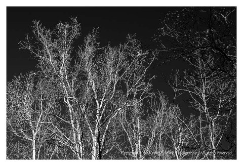 BW photograph of sycamore trees against a clear blue sky after a strong storm.