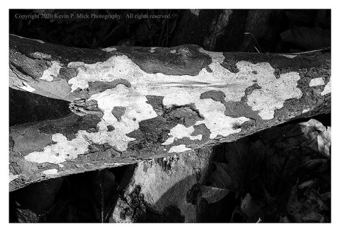 BW photograph of a sycamore tree's roots.
