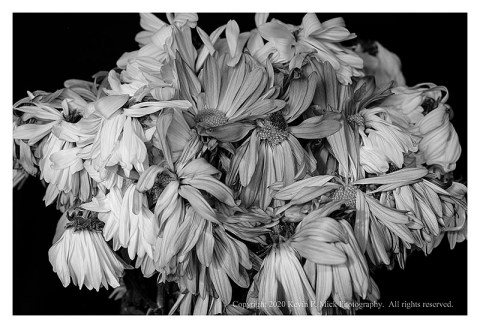 BW photograph of a bouquet of wilted mums.