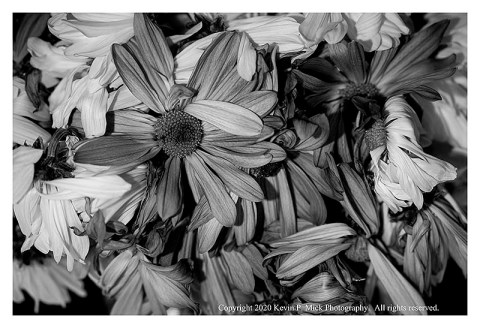 BW photograph of a bouquet of wilted daisies.