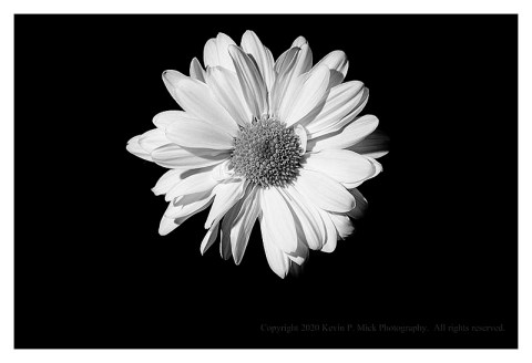 BW photograph of a single white daisy against a black background.