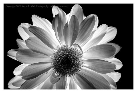 BW photograph of a back-lit single daisy.