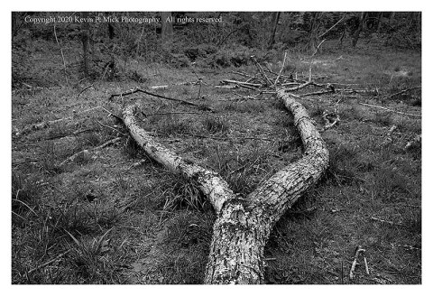 """BW photograph looking across a fallen """"Y"""" tree branch laying on the ground."""