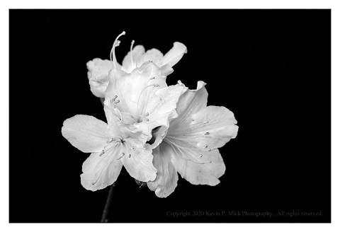 BW photograph of azalea blooms.