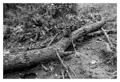 BW photograph of a tree limb sheared off in a storm.