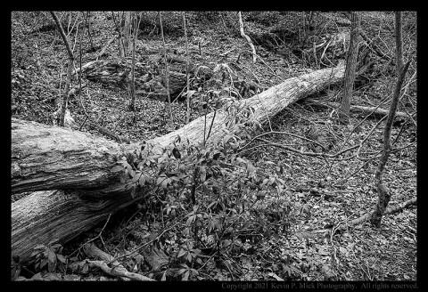 BW photograph of a fallen tree beside a trail.
